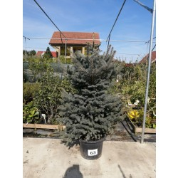 Molid Argintiu NR. 63 (Picea Pungens Glauca)