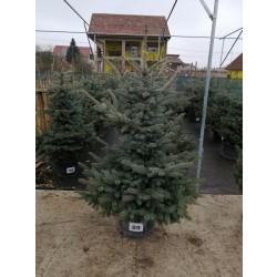 Molid Argintiu NR. 89 (Picea Pungens Glauca)