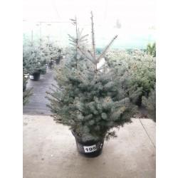 Molid Argintiu NR. 195 (Picea Pungens Glauca SUPER BLUE)