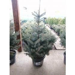 Molid Argintiu NR. 202 (Picea Pungens Glauca SUPER BLUE)