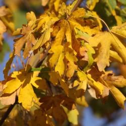 JUGASTRU (Acer Campestre)