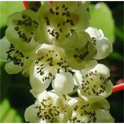 KIWI Weiki polenizator (Actinidia arguta Weiki)