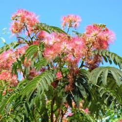 Arbore de mătase (Albizia julibrissin)
