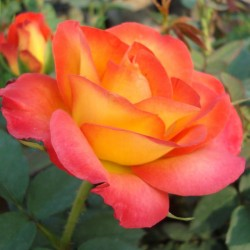 Trandafir teahibrid Alinka