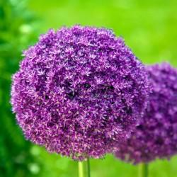 Ceapă decorativă (Allium Giganteum)
