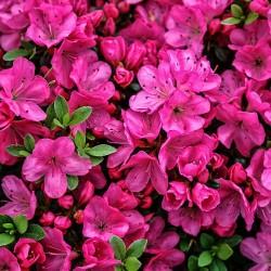 Azalee (Rhododendron) Anne Frank