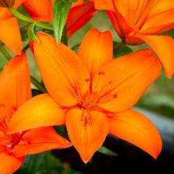 Crin Asiatic Orange