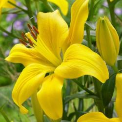 Crin Asiatic Yellow