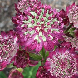 Astrantia Star of Beauty