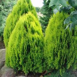 Tuia Aurea Nana 30-40cm