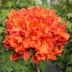 Azalee (Rhododendron)  Feuerwerk