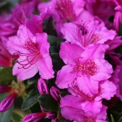 Azalee (Rhododendron)  Königstein