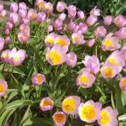 Lalele Lilac Wonder