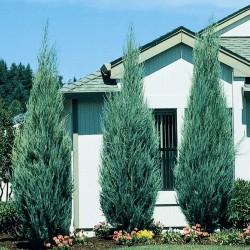 Ienupar Albastru (Juniperus Sky Rocket)