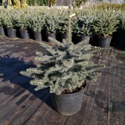 Molid Argintiu 60-70cm (Picea Pungens Glauca)
