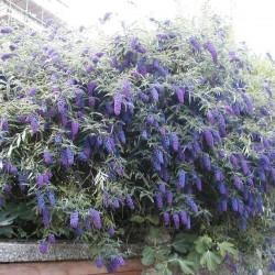 Liliac de Vară (Buddleja davidii Nanho BLUE)