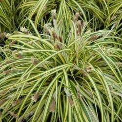Carex Variegata