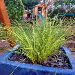 Carex Lime Shine