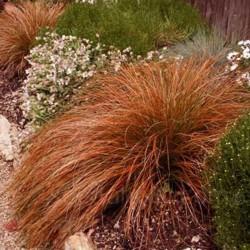 Carex Praire Fire