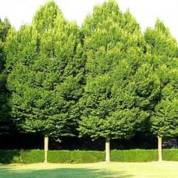 CARPEN (Carpinus Betulus)