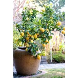 Lămâi (Citrus Limon)
