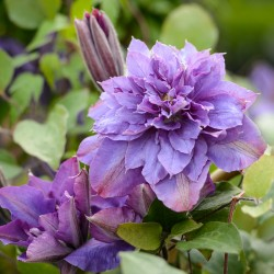 Clematis Vyvyan Pennel