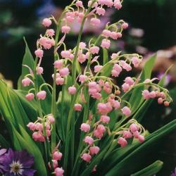 Lăcrimioare Roz (Convallaria majalis Rosea)