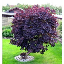 Scumpie Red (Cotinus coggygria Royal Purple)