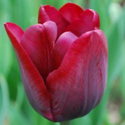 Lalele Couleur Cardinal
