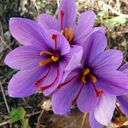 Șofran (Crocus sativus)