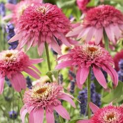 ECHINACEA (Echinacea purp. Pink Double Delight)
