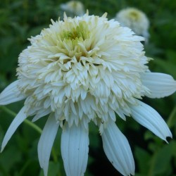 ECHINACEA (Echinacea purp. White Double Delight)