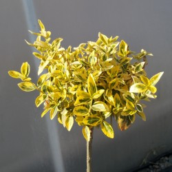 Euonymus Emerald GOLD pomisor