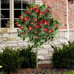 Trandafir pomișor Kronenbourg cu ghiveci