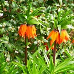 Laleaua Împăratului (Fritillaria imperialis Aurora)