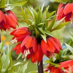 Laleaua Împăratului (Fritillaria imperialis Rubra)
