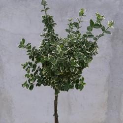Euonymus Emerald Gaiety pe tulpină