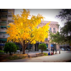 Arborele Pagodelor (Ginko Biloba)