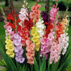 Gladiole Butterfly Mix 10buc.