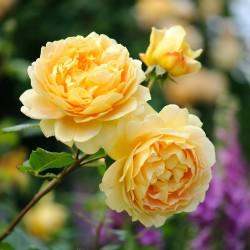 Trandafir englezesc Golden Celebration
