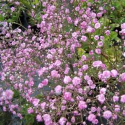 FLOAREA MIRESEI ROZ (Gypsophylla Pink Festival)