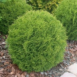 Thuja occidentalis HOSERI