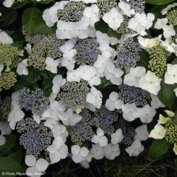 Hortensia Blanc Bleu