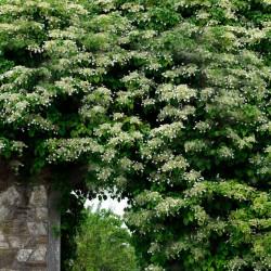 Hortensia căţărătoare (Hortensie anomala)
