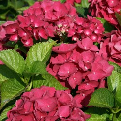Hortensia Red Baron