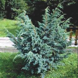 IENUPĂR (Juniperus Meyeri)