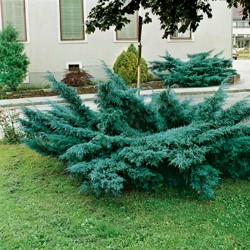 IENUPĂR (Juniperus PFITZERIANA GLAUCA)