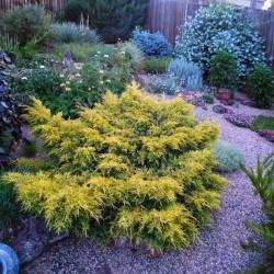 Ienupar tarator (Juniperus x media Saybrook GOLD)