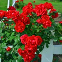 Trandafir cățărător Kormun