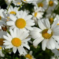 MARGARETE (Leucanthemum Becky)